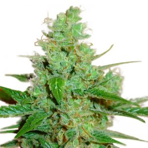 AUSSIE BLUES ® FEMINIZED