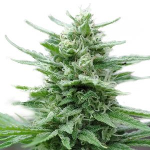 GREEN CRACK FEMINIZED