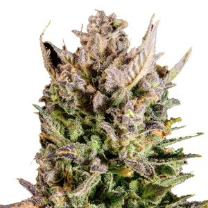 NEW YORK TURBO DIESEL FEMINIZED
